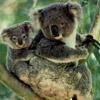 smileys 26069-koalas.jpg