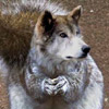 smileys 26483-funny_wolf.jpg