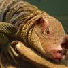 smileys 27040-lizard_pig.jpg