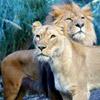 smileys 28116-lions.jpg