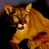 smileys 28519-cougar.jpg
